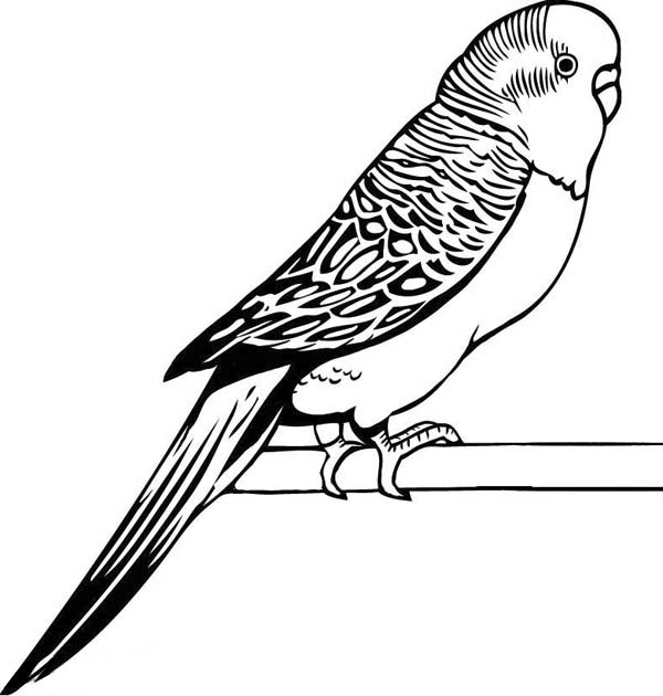 parakeet coloring page - parakeet coloring pages drawings sketch coloring page